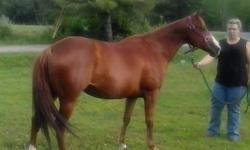 Sorrel, approximately fourteen hands.. Rides western.. Has Doc o Lena bloodlines.. Excellent horse.. Easy keeper