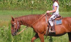 This mare started out as a race horse (what she was bred for) and has been trail and started in 4-H last summer. She is 17 years old, and was bred about 9 years ago and was a good mother. She has top racing bloodlines in her pedigree so has possibilities