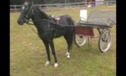 7 year old gelding. Ready for in hand classes, broke to ride and drive, stands for vet and farrier, loads ramp or step up. Has worked with handicap children Reducing numbers make an offer
