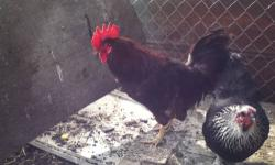 I am selling Roosters and Hens the hens are laying already I'm asking $20 for hens and $15 for Roosters or $30 for a pair will take offers call me 408-706-3964 This ad was posted with the eBay Classifieds mobile app.