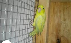 I Am Downsizing My Bird Population, White Female Ringneck, Will Be Two In April
