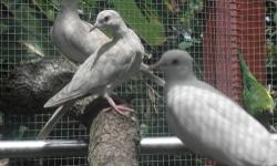 HE IS IVORY COLOR RINGNECK DOVE. HEALTHY AND SWEET , NICE IF YOU HAVE A AVIARY. CONTACT: 954-969-4903 THE PRICE IS DOWN!