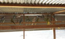 Assorted Ringneck Doves for sale, white, brown, pied, peaches. 2 for $10.00.