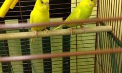 I HAVE 1 GREEN MALE RINGNECK PARAKEET LEFT. HATCHED DECEMBER 2012. ALL FROM SAME CLUTCH MOTHER IS BLUE SPLIT TO ALBINO FATHER IS GREEN SPLIT TO LUTINO PARENT RAISED--NOT HAND TAME GREEN MALES $150.00