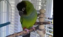 Ringneck/Psittacula - Kiwi - Small - Adult - Female - Bird Note: We do not ship parrots and generally adopt only within a 200-mile radius of Fargo, North Dakota. A pre-adoption home visit by a member of our adoption committee is required for every