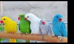 I am currently in the process of selling a baby Indian Ringneck. The prices are: Albino$350 Blue$350 Weaned Blue $375 Lutino $375. If you are interested you can contact me: call/text 347-231-3031 [email removed] Email for recent pictures SORRY NO TRADES,