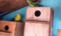 Hi I'm selling a pair of rock pebbler parakeets I'm asking 525.00 for the pair if you have any questions please call 9512649723 thanks. This ad was posted with the eBay Classifieds mobile app.