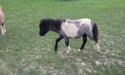 XMAS special this black and white colt is just the sweetest thing there can be, Should get to 36,7 inches tall. very correct . great color . Will hold till XMAS if needed. Aslo a two year old silver dapple gilding, with four stockings, needs a home with a