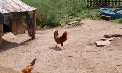 I have 4 roosters 5 dollars a piece, you catch and pick up only. We bought chicks this year and 5 turned out to be Roosters so we have 4 to many.