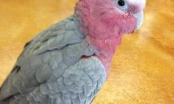 Loving Hand-fed Baby Rose Breasted Cockatoo. Very Sweet and Loves to Cuddle.