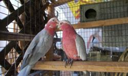 Rose Breasted Cockatoo, Both are under 8 years old, both are tame and friendly, male talk and dance, female talk a little but she love to dance. Both are pets and very sweet n friendly, just put them together couple of months n now the female just lay one