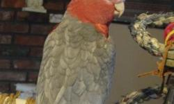 Rose Breasted Cockatoo needs a good home with a patient owner that can offer daily interaction. She is estimated to be about 12-14 years old and is in Good Health and Excellent Feather Condition. She is semi tame, talks, likes to have head scratched and