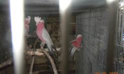 PRICE REDUCED: PAIRS OF BREEDER ROSEBREASTED COCKATOOS FOR SALE. BEAUTIFUL BIRDS. 5/6 years old, excellent feather, housed outdoors, on good diet. Located in Sacramento, CA. No shipping. Need to make room for other birds now.