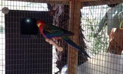 Proven male western rosella. Housed outside and already acclimated to our weather. Jan 602-999-0171 or www.AzBirdRanch.com