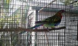 Eastern Rosella not sure but belive it is a male, not tame. Asking $250 David 786-277-0234