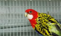 BEAUTIFUL ROSELLA'S FOR SALE MALE GOLDEN MANTLE FEMALE CINAMON GOLDEN MANTLE AND A MALE FIERIE JUST BEAUTUL HEALTHY BIRDS AT THE RIGHT PRICE CALL TODAY 954-632-0863 SHIP ANYWHERE ALL CREDIT CARDS ACCEPTED
