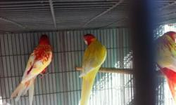 3 rosellas for sale $300 each u can text or call at 805 766-6795 This ad was posted with the eBay Classifieds mobile app.