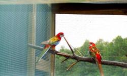Proven pair of Rosellas female Lutino and male Rubino need to sell have other interest.