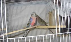 1 young male rosey bourkes $80.00 with cage laporte ind 219-879-9208