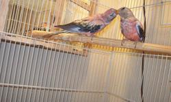 Young hand fed and hand tame Rosy Bourke for sale. Very pink, and very sweet. They make awesome pets, and are just about the quietest birds you can get. Located in Paris TX, and I'm willing to deliver within 40 miles, or you can come and pick up. Please