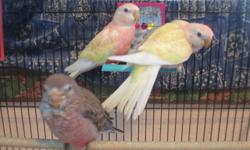 Have both hand-fed Bourke Parakeets and parent-fed young Bourkes. All birds are indoors and used to family activity, including a barking dog. Our breeders are all tame and sweet, so their offspring are too. All colors: Rosy Bourkes, red-eyed Lutino's,