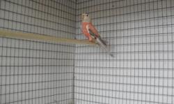 I have rosy bourke possible split rubino bourke parakeet asking $100 ask for Pete @714-399-5518 Will trade for a normal male elegant grass parakeet