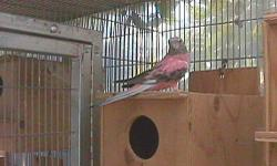 ROSY BOURKES PARAKEETS. 3 AVAILABLE. 1 MALE FOR SURE THE OTHER TWO I DO NOT KNOW. THEY ARE FROM LAST YEARS BABIES. $75.00 EACH.