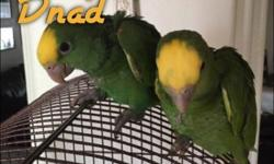 . royal pharmacy umbrella cockatoo babies are now ready for new homes,11 weeks old this adorable babies are vet check and akc registered,our prices are very affordable please for more details please just send us a brief text on this number and we will get