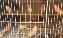 I have for sale diferent bourkets rosie rubino lutino split to rubino cream normal split cream rosie split rubino normal split lutino & rubino if interested please contact call 310-844-5287
