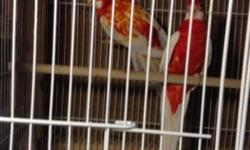 I have male rubino rosella for sale if you interested please contact call 310 8445287