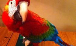 https://www.facebook.com/PoconoAna This beautiful Ruby Macaw is available and ready for their forever home now! Hand fed, weaned and eating seed, pellets and all kinds of fruits & veggies! A ruby macaw is a green wing/scarlet mix! Location Northeast pa