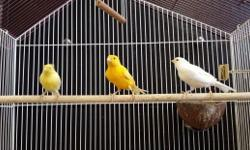 FOR THE FIRST TIME WE OFFERING THESE RUSSIAN CANARY BIRDS TO THE PUBLIC, THEY WERE ONLY SOLD OVERSEAS TO THE PRINCE OF SAUDI ARABIA,KUWAIT AND DUBAI THEY WERE ONLY SOLD TO BY SPECIFIC ORDERS ONLY! THEY HAVE AN ABUNDANCE OF CANARIES AT THIS TIME ... THEY