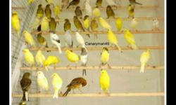 I have nice looking Russian Canaries for more information please 718-909-3341 Canaries ready to breed