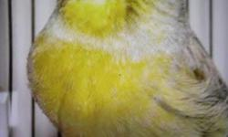 I have a big selection of Russian canaries with or without the gloster.all males are singing pure russian songs. these birds are pure canaries, not mixed. I have all ages, all colors. $65 and UP. NO SHIPPING 646717-5722