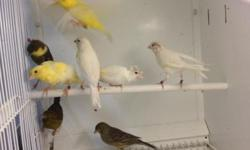 Home breed canaries in various colors