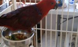 S.I. Eclectus male for sale. Very plucked but not naked. Asking $350.00. No shipping.