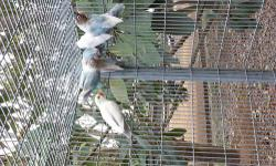 sable love birds for sale ,I also breed albinos, lutinos and other lovebirds