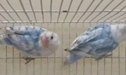 Lovebirds available contact 305-345-8829