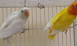 I breed Parblue Sable Lovebirds and white head lovebirds contact 305-345-8829