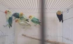 sable lovebirds available