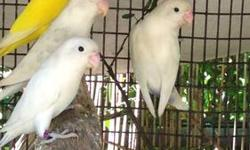 I have about 3 sable lovebirds with a light blue body and clean white head that I'd like to sell for $100 or trade for other sables in different colors or lutino or white fisher lovebirds. ONLY the sables on the pictures are for sale, the white and yellow