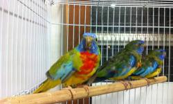 I have 3 male Scarlet-chested available now molding and coloring out and ready to breed next 2 months keep indoor. http://www.parrots.org/index.php/encyclopedia/captivestatus/scarlet_chested_parrot/ $150 each