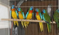 Hello ... Posting for a friend For trade or sell 10 young scarlet chested parakeets for trades or sell 5 is from the first clutch - 4 months old 5 is from the 2nd clutch - 1 1/2 months All related from the same parents Only 4 more are available 6 - sold