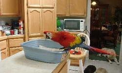 I have 1 baby Scarlet Macaw left that was hand fed. He was born March 30, 2014. He will be ready to go to his new home around the first week of August. I am located in Grass Valley. Please call (530) 268-2086 if interested or need more information.I do