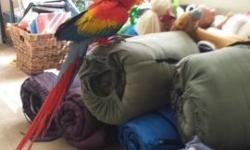 Jersey is a very nice beautiful Scarlet Macaw. She loves to be with her people. She is only 8 months old, so she is very active and curious. Loves to go to men, women and kids. Please call for details.