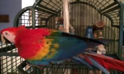 Jazz is an 11 year old female Scarlet Macaw. She is shy but loves to talk and laugh once she knows you. I hand raised her. She has a large cage and toys that will come with her. Any questions please email and request my phone number.