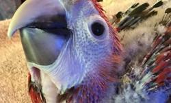 Handfeeding baby Scarlett macaw should be weaned in June 2015..Photos are 6 weeks old..
