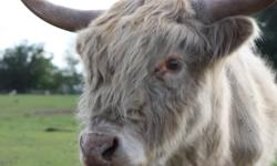 Dreamcatcher Farm Scottish Highland Cattle for sale. At present we have : 4 young bull calves and 2 young steers $500 ea