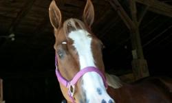 8 year old barrel mare, registered paint. Rodeo seasoned and safe. Sound and honest. Money winner. This mare is also talented and moves nice enough to do Hunt seat and trail. Excellent confirmation and striking good looks for a halter class.