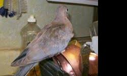 Young Senegal doves (in Egypt, they're called palm doves; in India, little brown doves)--all hatched from late April to early August of 2012. Besides being very beautiful, Senegals are also friendly, curious, and very good mixers. Mine get along well with